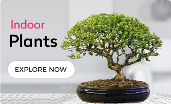 Bonsai Plants Online