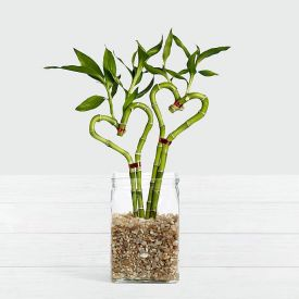2 Love Heart Bamboo Plant