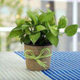 Money plant for gift