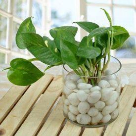 Money Plant with Decorative Vase