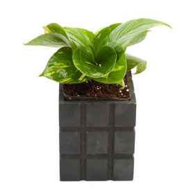 Fashionable Money Plant