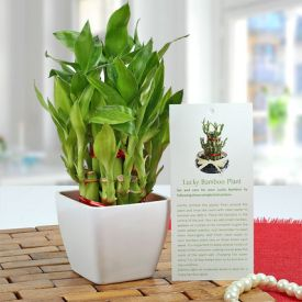 3 layer lucky bamboo plant.