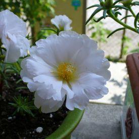 Portulaca (White) - Plant