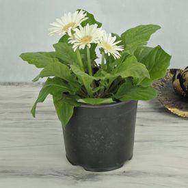 White Gerbera Plant