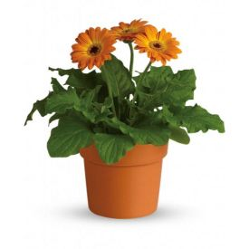 Orange Gerberas plant