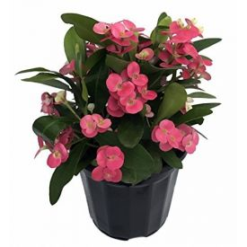 Pink Crown of Thorns Plant