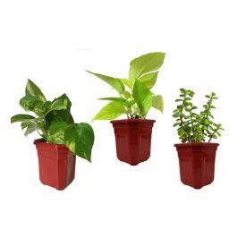 Money Plant With jade