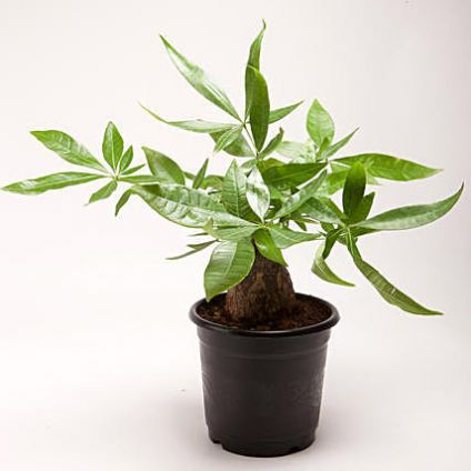 Pachira Bonsai Plastic Pot